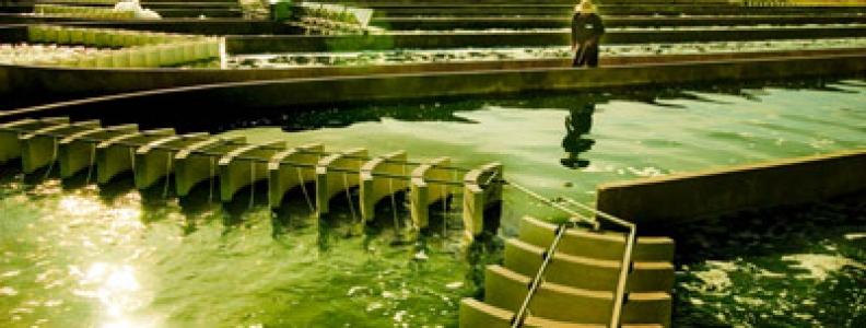 Giá tảo mặt trời Spirulina tỷ lệ thuận với chất lượng