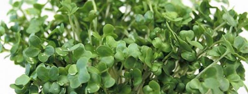 Mầm cải xanh và khả năng chống ung thư